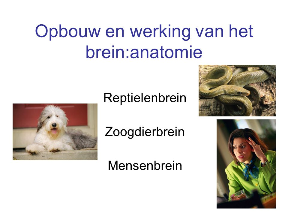 Opbouw en werking van het brein:anatomie Reptielenbrein Zoogdierbrein Mensenbrein