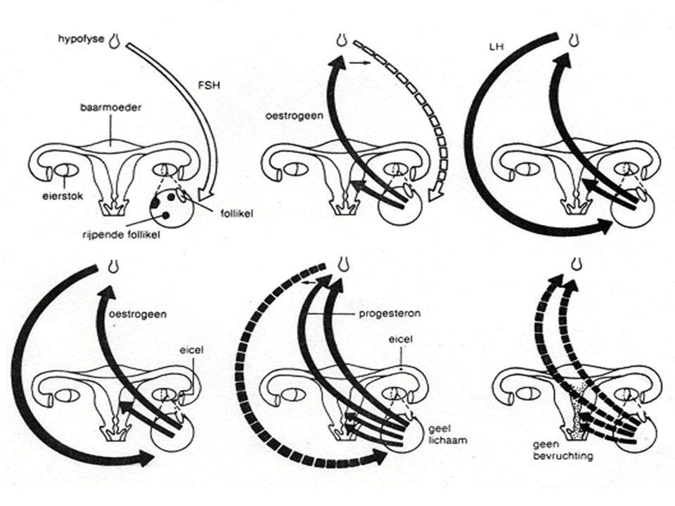 Samenvattend schema Hypofyse activiteit eierstokactiviteit baarmoederactiviteit