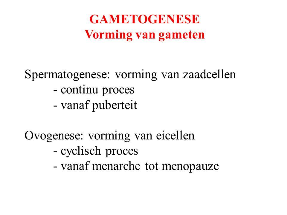 GAMETOGENESE Vorming van gameten Spermatogenese: vorming van zaadcellen - continu proces - vanaf puberteit Ovogenese: vorming van eicellen - cyclisch proces - vanaf menarche tot menopauze