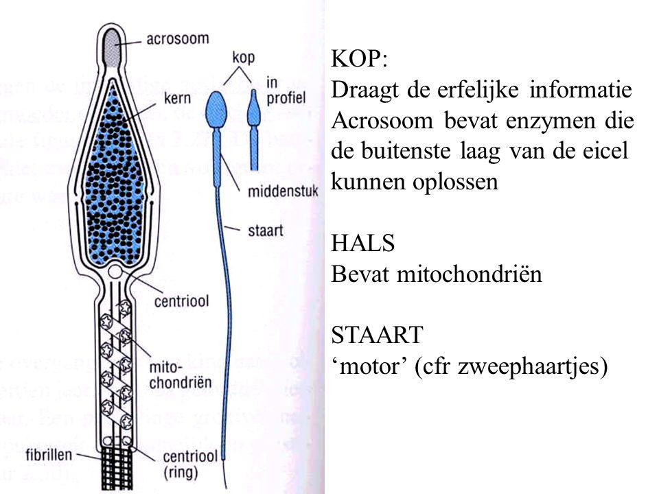 KOP: Draagt de erfelijke informatie Acrosoom bevat enzymen die de buitenste laag van de eicel kunnen oplossen HALS Bevat mitochondriën STAART 'motor' (cfr zweephaartjes)