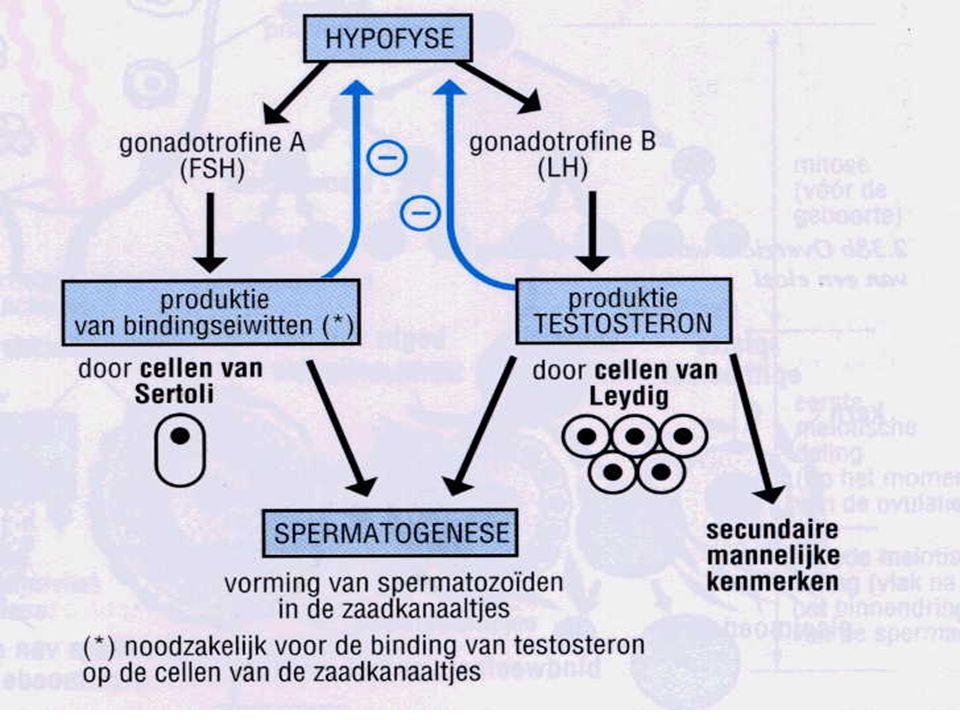 Ovogenese Fase 1: rijping follikel o.i.v.