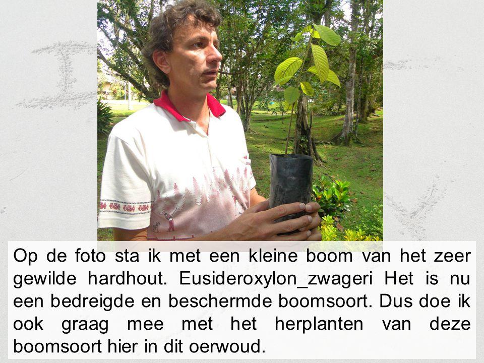 Op de foto sta ik met een kleine boom van het zeer gewilde hardhout. Eusideroxylon_zwageri Het is nu een bedreigde en beschermde boomsoort. Dus doe ik