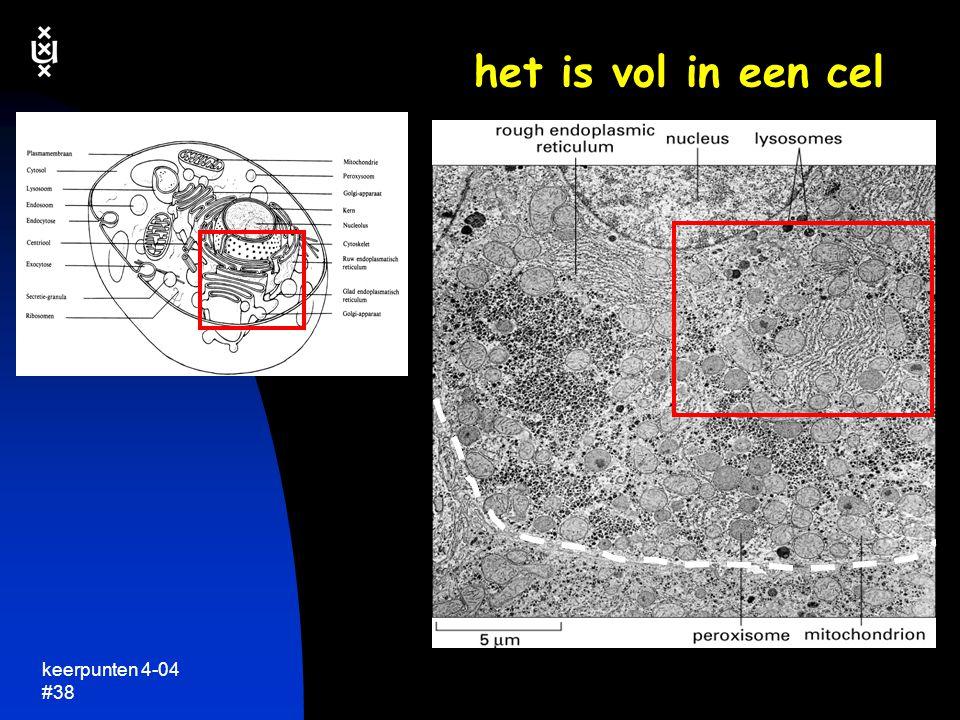 keerpunten 4-04 #37  delende plantecel  wortel van Arabidopsis thaliana (zandraket) cytoskelet van microtubili ~30  m