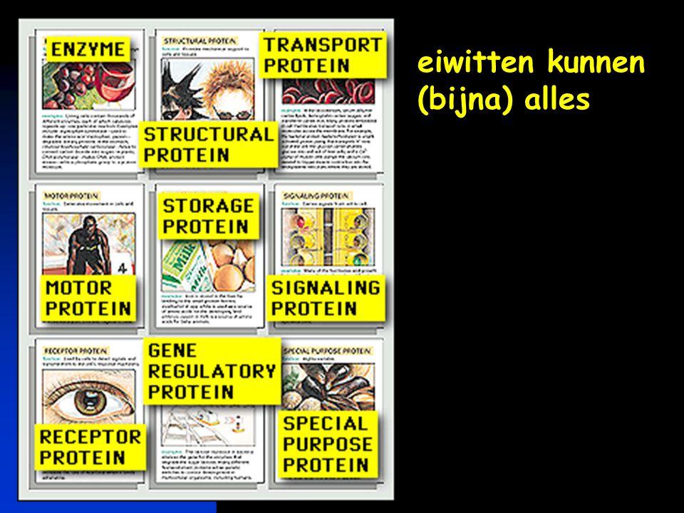 keerpunten 4-04 #73 heel veel eiwitten mogelijk met 20 aminozuren  keten van N aminozuren 20 N mogelijkheden N = 100 aminozuren – 1,26 x 10 130 mogel