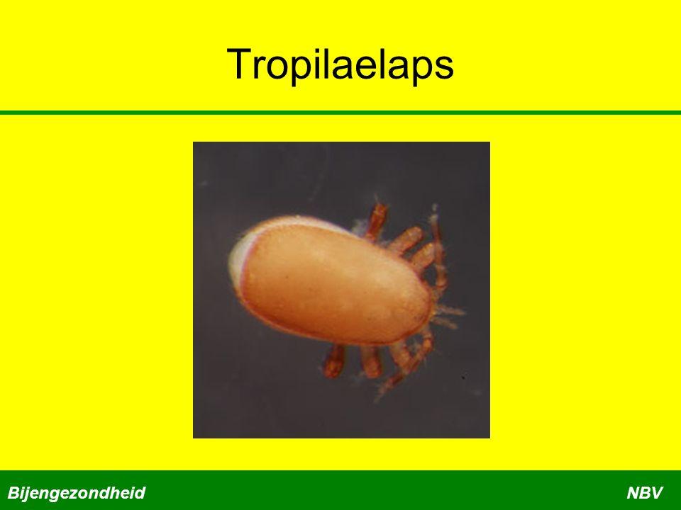 Tropilaelaps BijengezondheidNBV