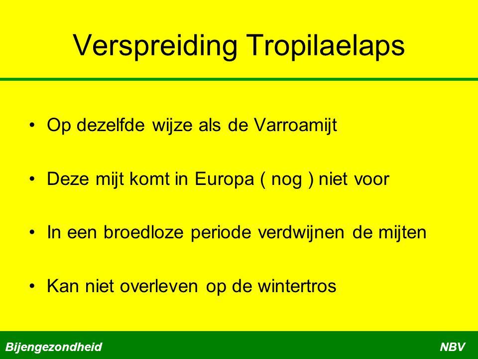 Verspreiding Tropilaelaps Op dezelfde wijze als de Varroamijt Deze mijt komt in Europa ( nog ) niet voor In een broedloze periode verdwijnen de mijten Kan niet overleven op de wintertros BijengezondheidNBV