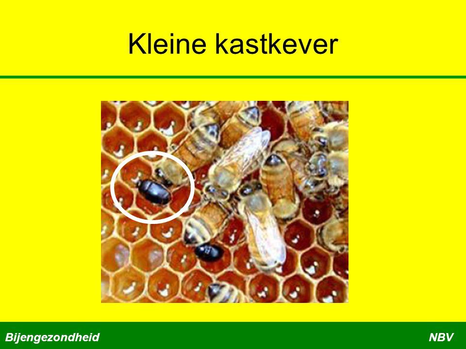 Kleine kastkever BijengezondheidNBV