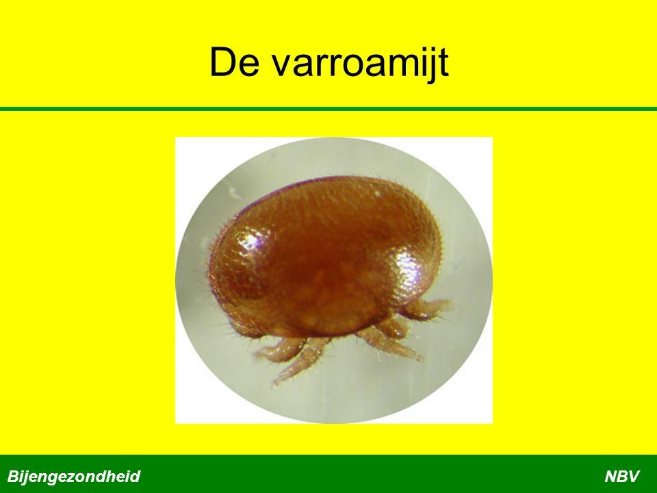 Gecombineerde aanpak varroa Toepassen bij opzetters Zet een volk op volledig kunstraat Voer een varroabestrijding uit Varroamijten zijn dubbel gepakt BijengezondheidNBV