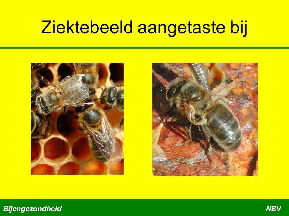 Algemeen ziektebeeld Boven tegen de wand in de cel zitten witte korrels = ontlasting mijten Mijten op de larven en ook op de bodemlade Bijen met vervormde vleugels Dwergbijen, het achterlijf is korter dan de vleugels BijengezondheidNBV