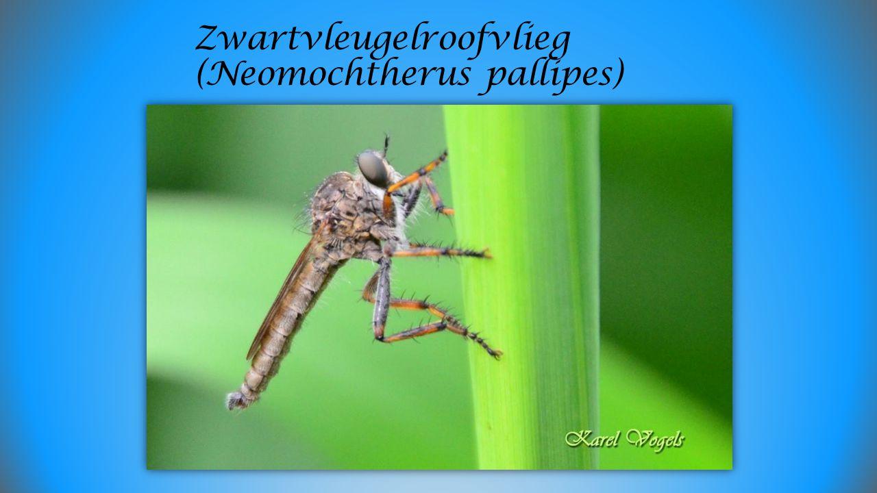 Zwartvleugelroofvlieg (Neomochtherus pallipes)