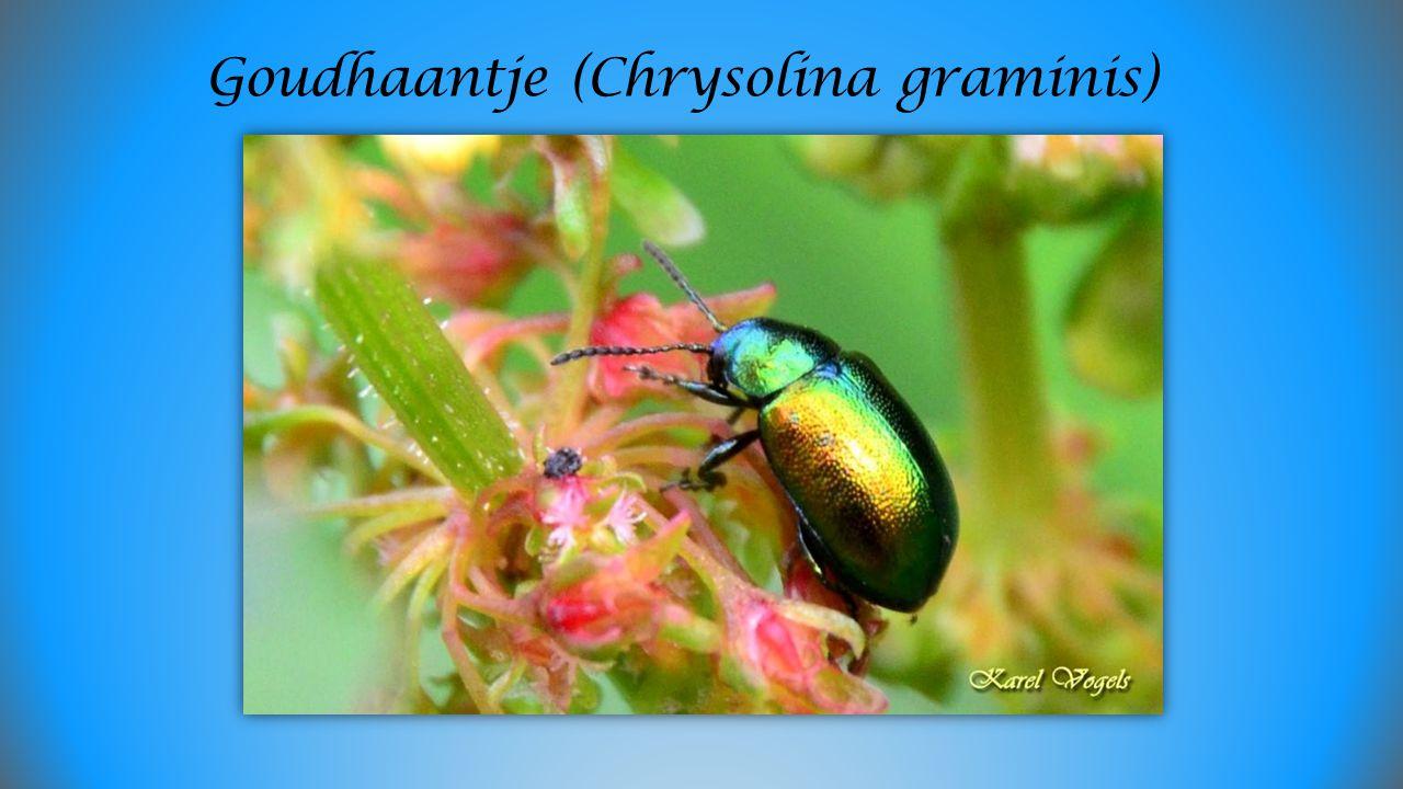 Goudhaantje (Chrysolina graminis)