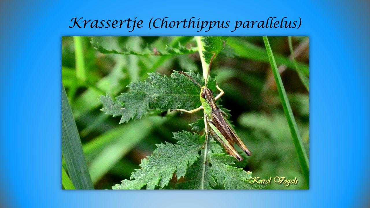 Krassertje (Chorthippus parallelus)