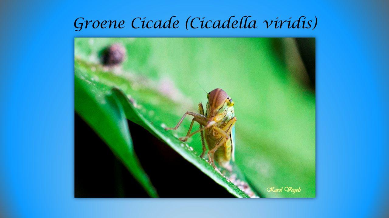 Groene Cicade (Cicadella viridis)