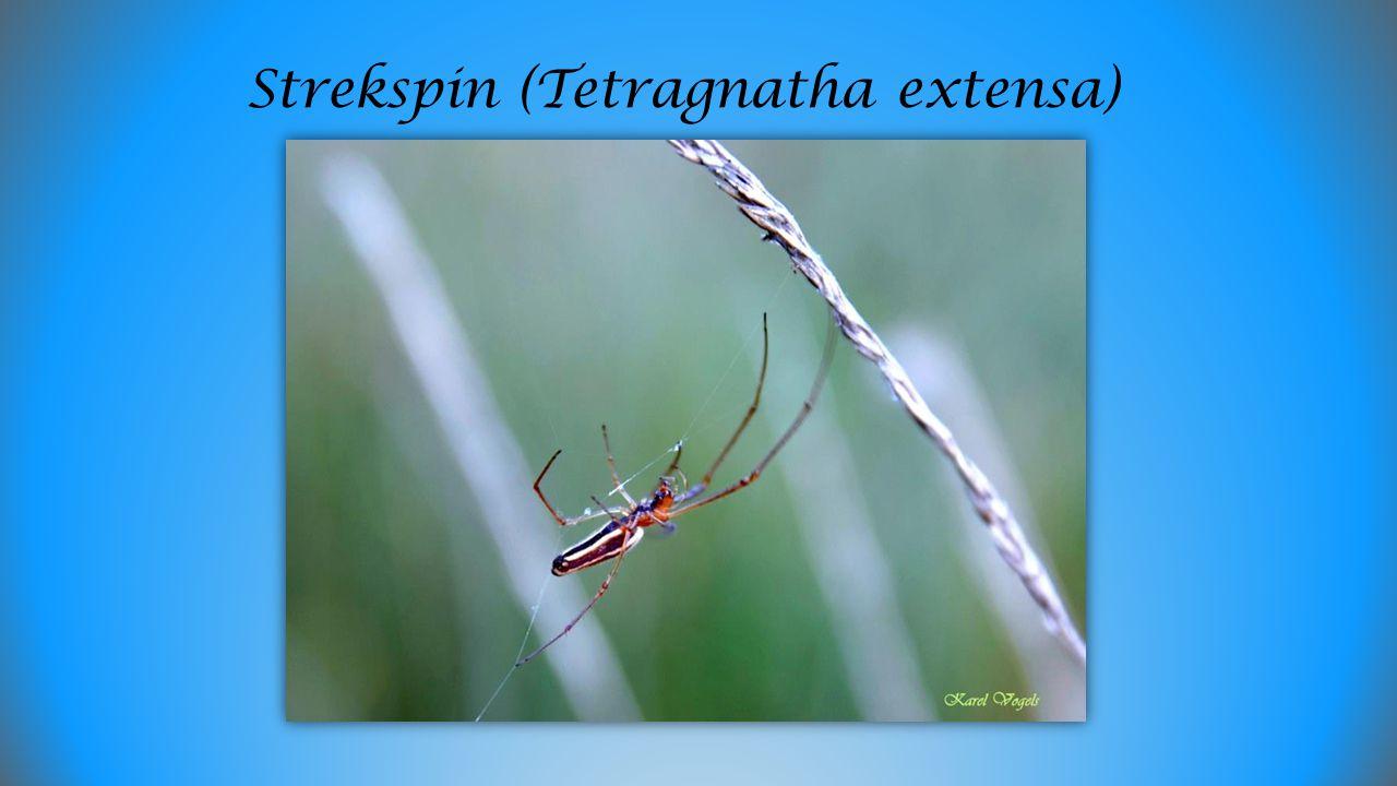 Strekspin (Tetragnatha extensa)