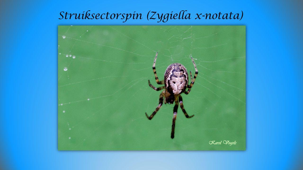 Struiksectorspin (Zygiella x-notata)