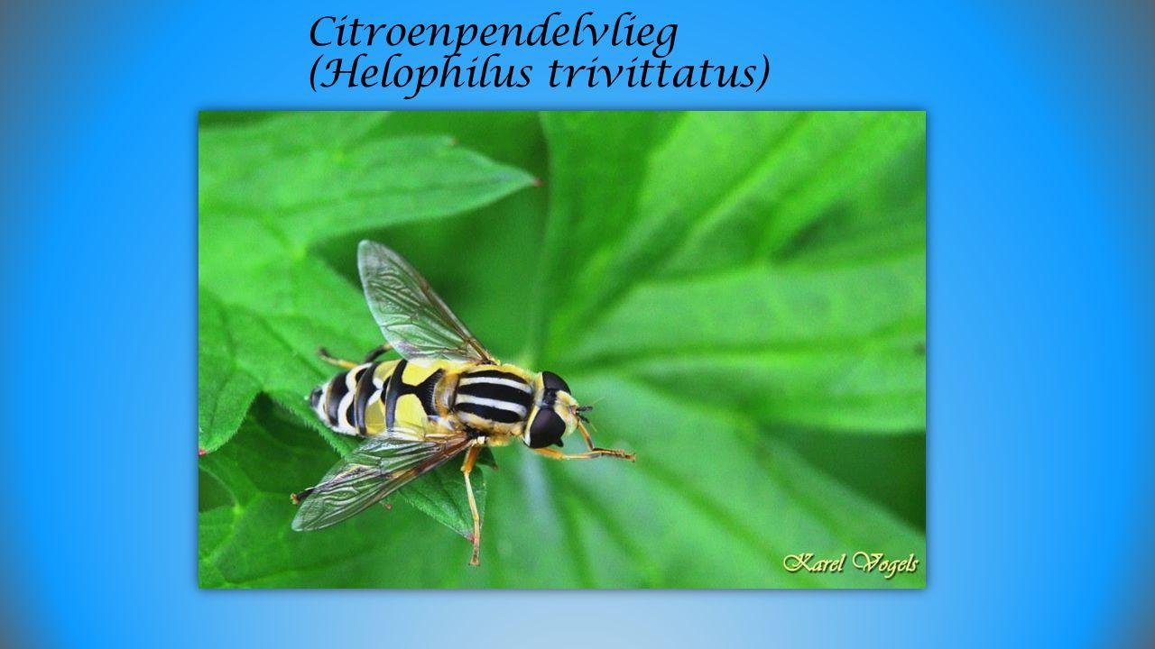 Citroenpendelvlieg (Helophilus trivittatus)