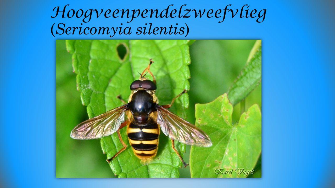 Bruine Sprinkhaan (Chorthippus brunneus)?