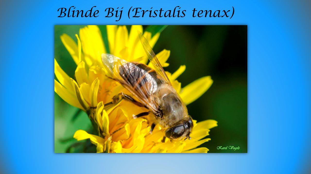 Blinde Bij (Eristalis tenax)