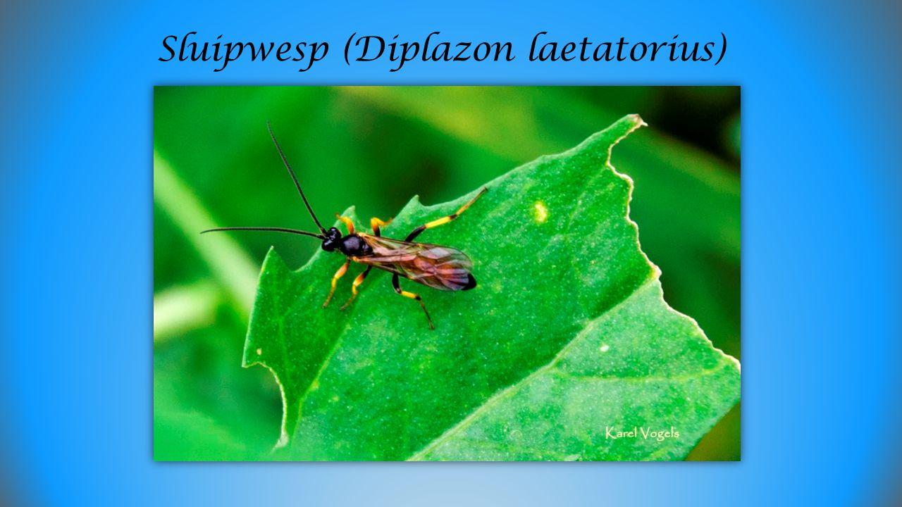 Hooiwagen (Phalangium opilio)