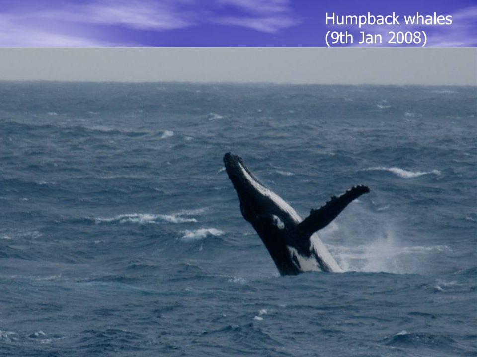 Humpback whales (9th Jan 2008)