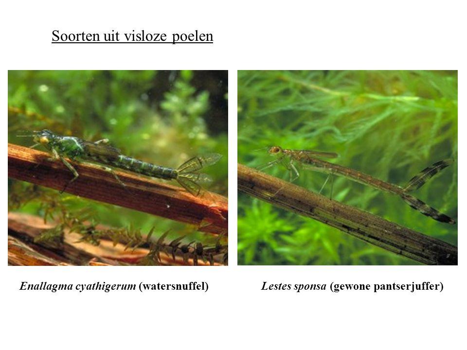 Soorten uit visrijke poelen Erythromma najas (grote roodoogjuffer)Platycnemis pennipes (breedscheenjuffer)