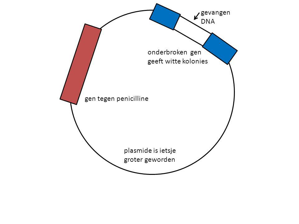 gen tegen penicilline onderbroken gen geeft witte kolonies gevangen DNA plasmide is ietsje groter geworden