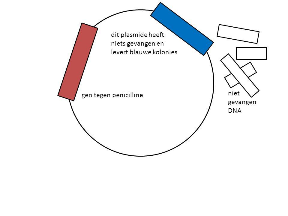 gen tegen penicilline dit plasmide heeft niets gevangen en levert blauwe kolonies niet gevangen DNA