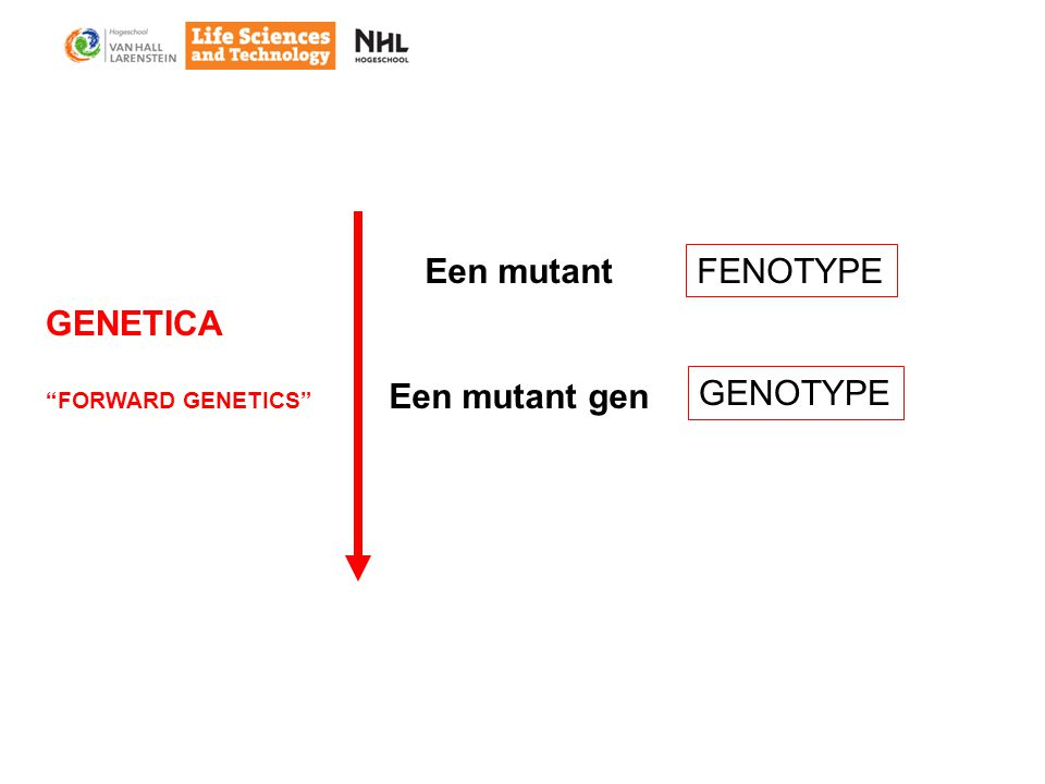 Een mutant Een mutant gen GENETICA FORWARD GENETICS FENOTYPE GENOTYPE