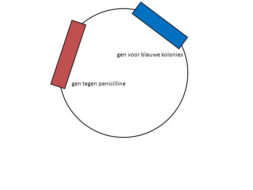 gen tegen penicilline gen voor blauwe kolonies