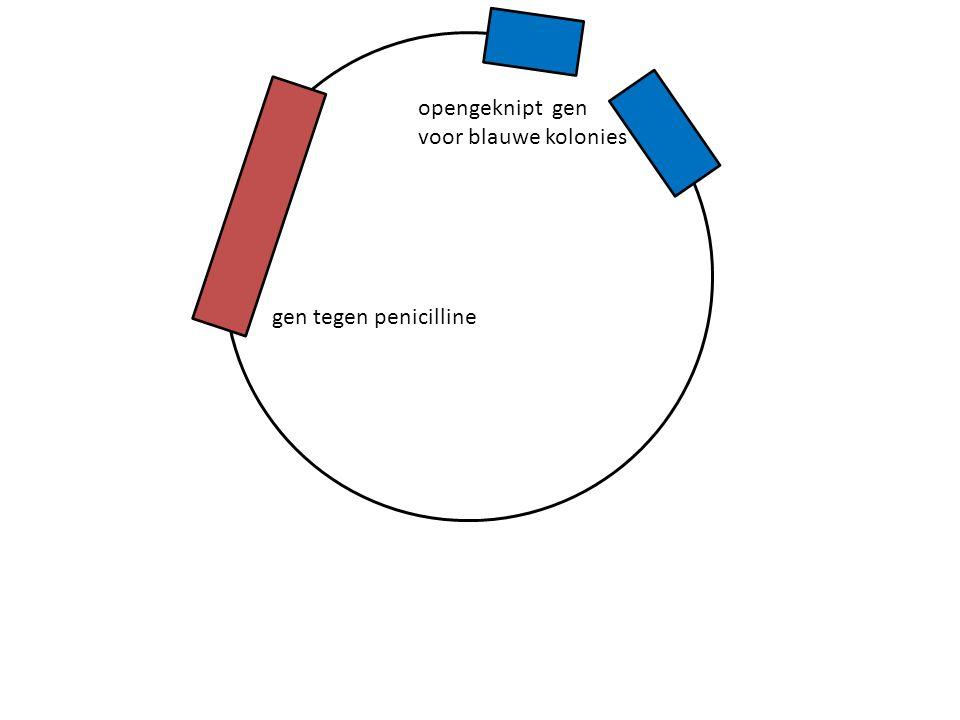 gen tegen penicilline opengeknipt gen voor blauwe kolonies