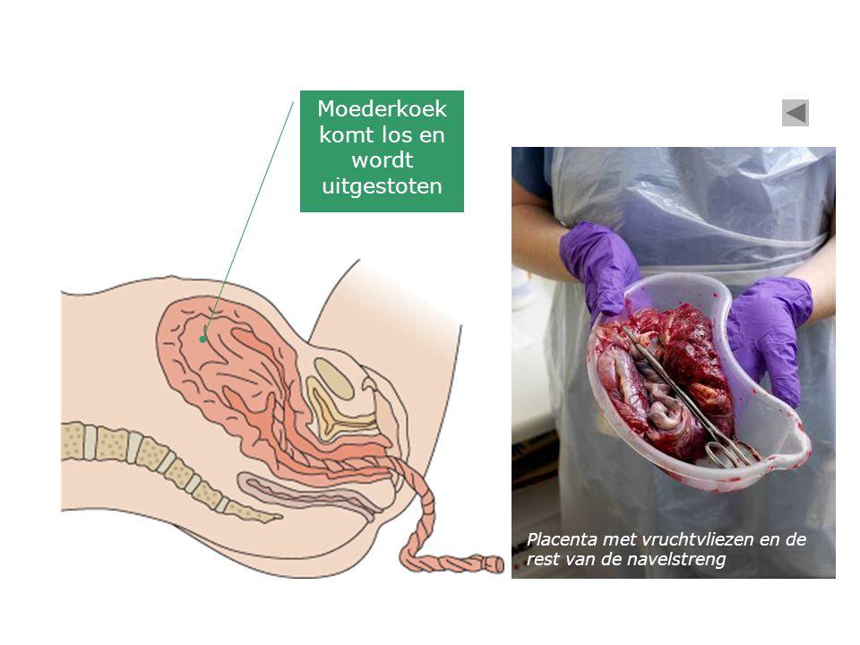 Moederkoek komt los en wordt uitgestoten Placenta met vruchtvliezen en de rest van de navelstreng
