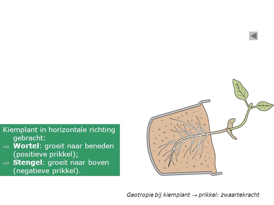 Geotropie bij kiemplant  prikkel: zwaartekracht Kiemplant in horizontale richting gebracht: Wortel: groeit naar beneden (positieve prikkel); Stenge