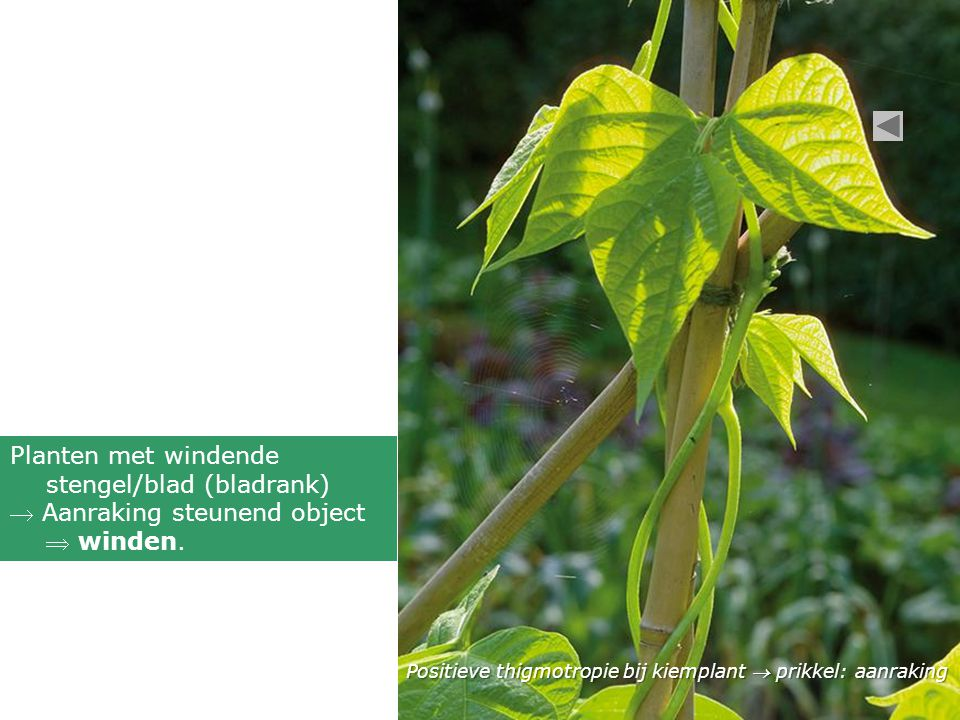 Positieve thigmotropie bij kiemplant  prikkel: aanraking Planten met windende stengel/blad (bladrank)  Aanraking steunend object  winden.