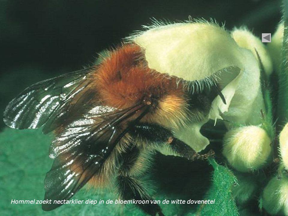 Hommel zoekt nectarklier diep in de bloemkroon van de witte dovenetel