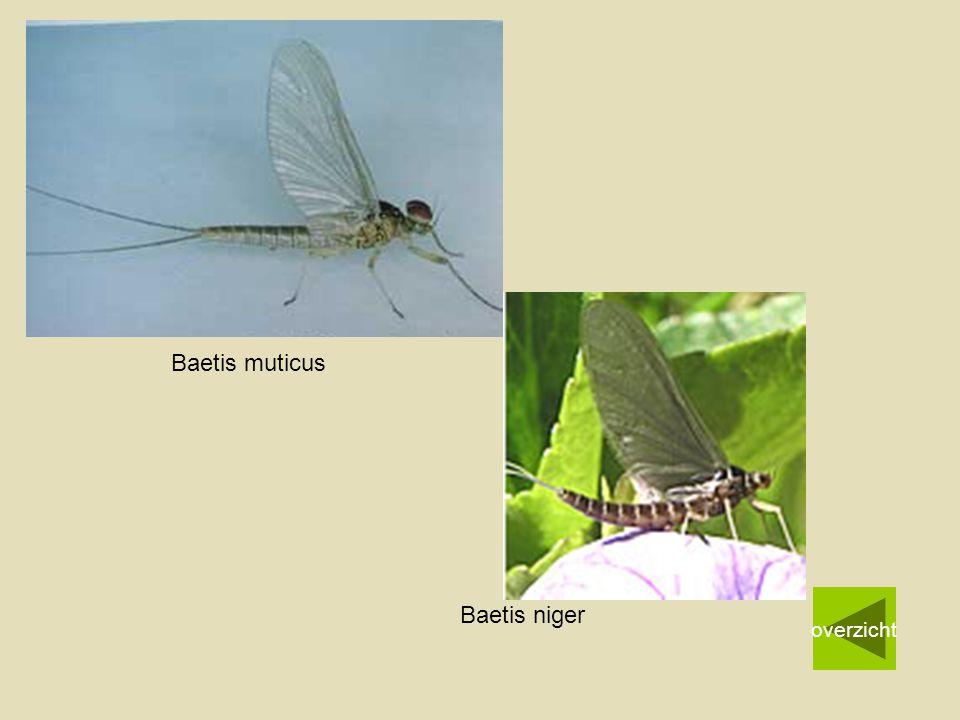 Baetis muticus overzicht Baetis niger