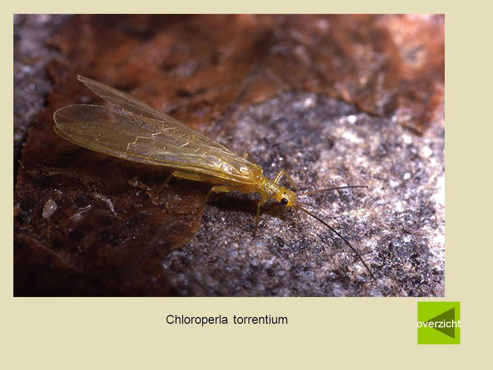 Chloroperla torrentium overzicht