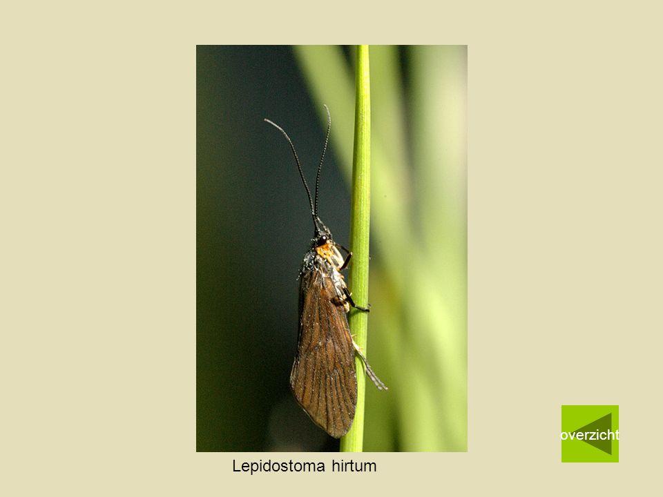 Lepidostoma hirtum overzicht