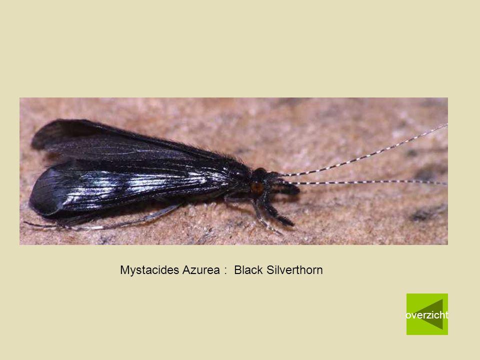Mystacides Azurea : Black Silverthorn overzicht
