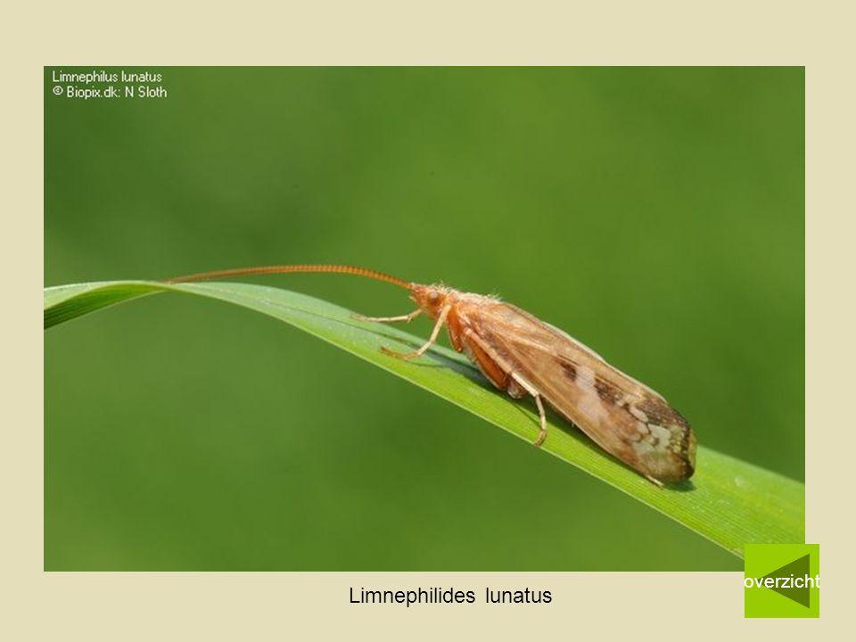 Limnephilides lunatus overzicht