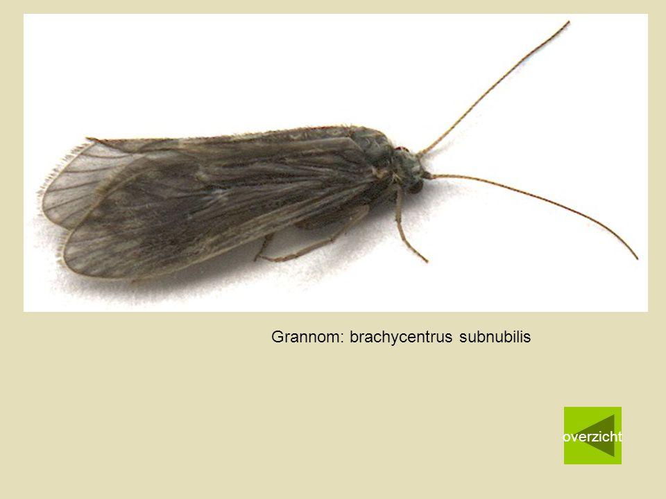 Grannom: brachycentrus subnubilis overzicht