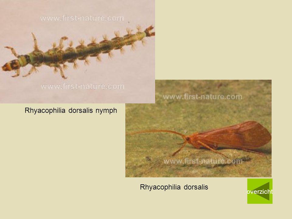 Rhyacophilia dorsalis nymph overzicht Rhyacophilia dorsalis