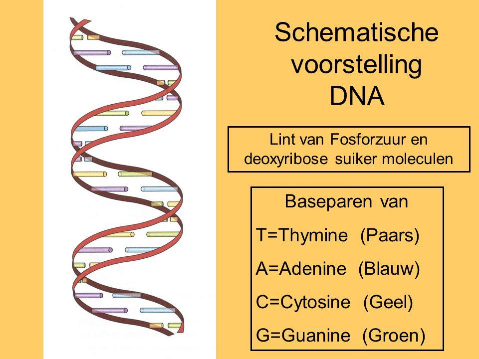 Schematische voorstelling DNA Baseparen van T=Thymine (Paars) A=Adenine (Blauw) C=Cytosine (Geel) G=Guanine (Groen) Lint van Fosforzuur en deoxyribose