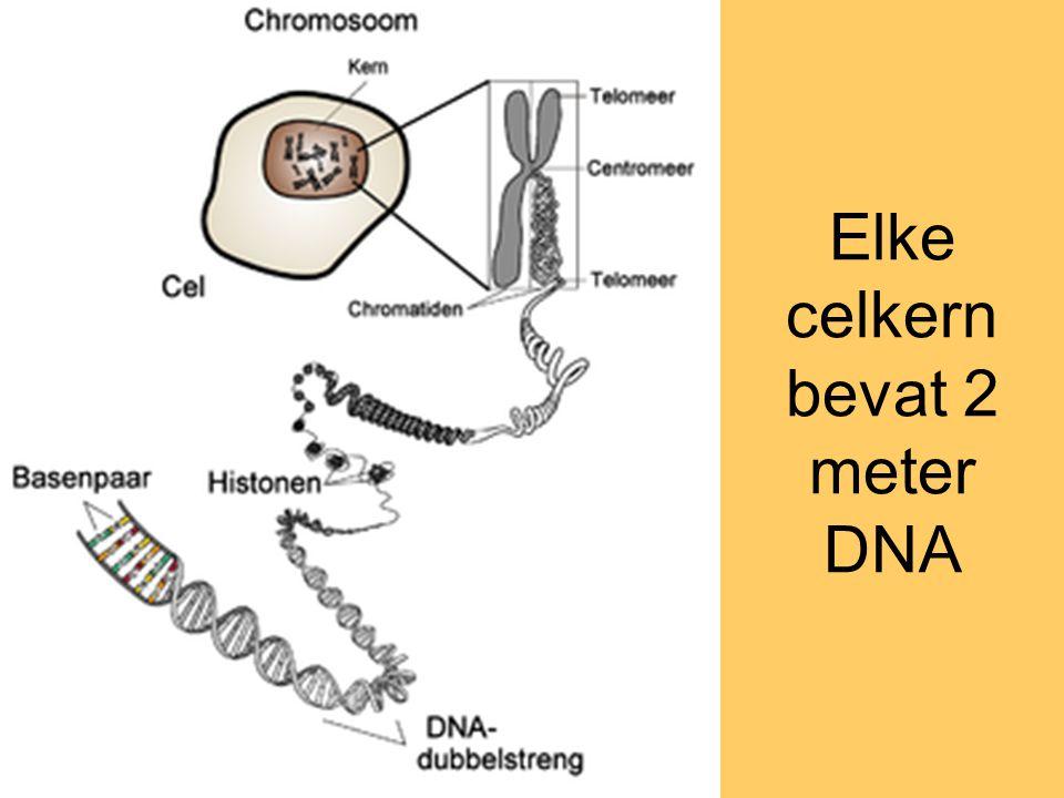Elke celkern bevat 2 meter DNA