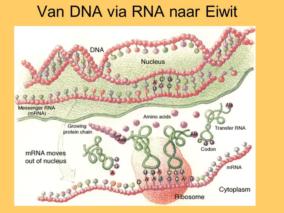 Van DNA via RNA naar Eiwit