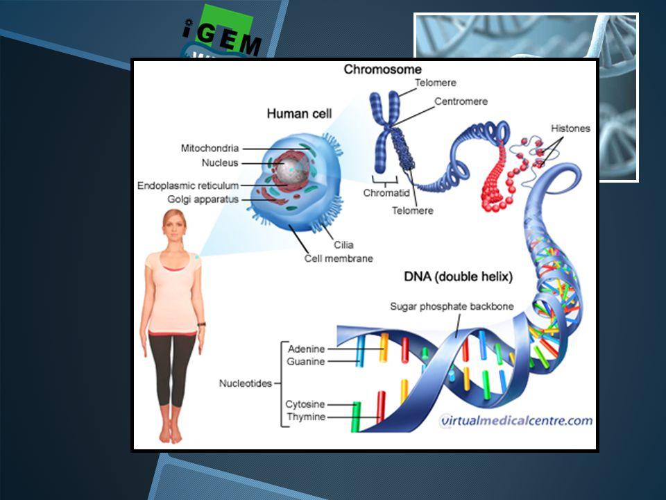 DNA enzo...  Transcriptie  Van DNA naar RNA  T  U