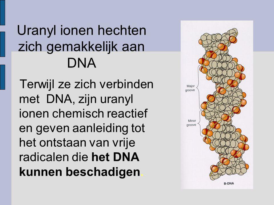 Uranyl ionen hechten zich gemakkelijk aan DNA Terwijl ze zich verbinden met DNA, zijn uranyl ionen chemisch reactief en geven aanleiding tot het ontstaan van vrije radicalen die het DNA kunnen beschadigen.