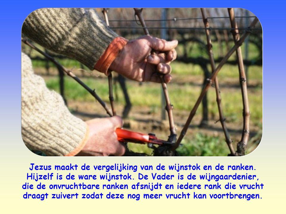 Jezus maakt de vergelijking van de wijnstok en de ranken.