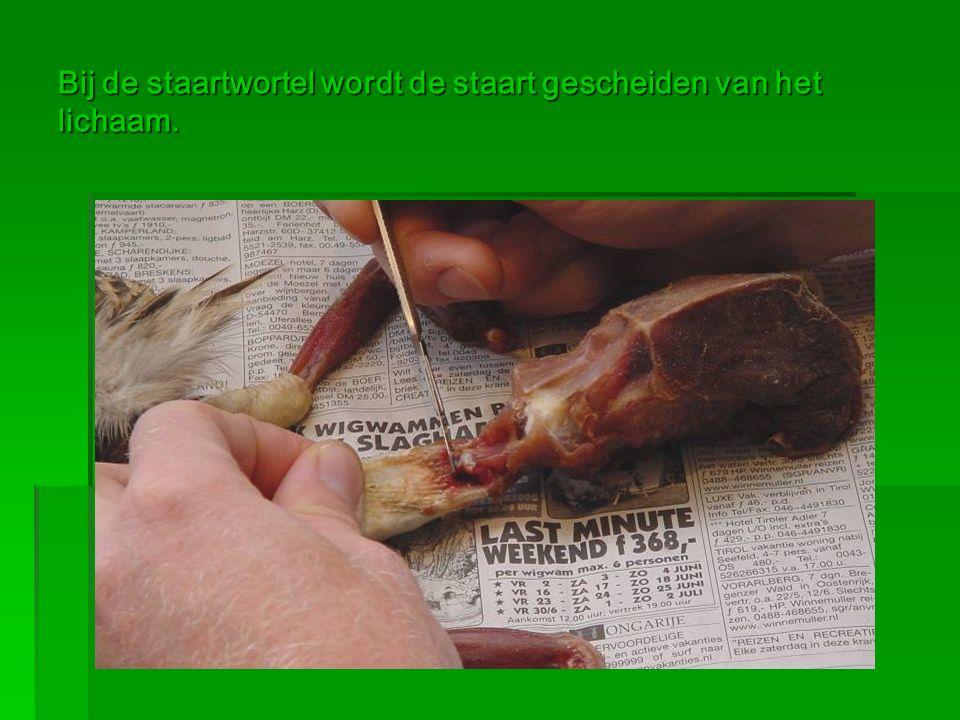 Bij de staartwortel wordt de staart gescheiden van het lichaam.