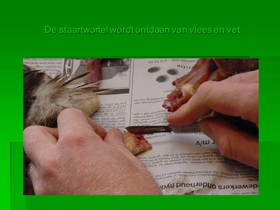 De staartwortel wordt ontdaan van vlees en vet