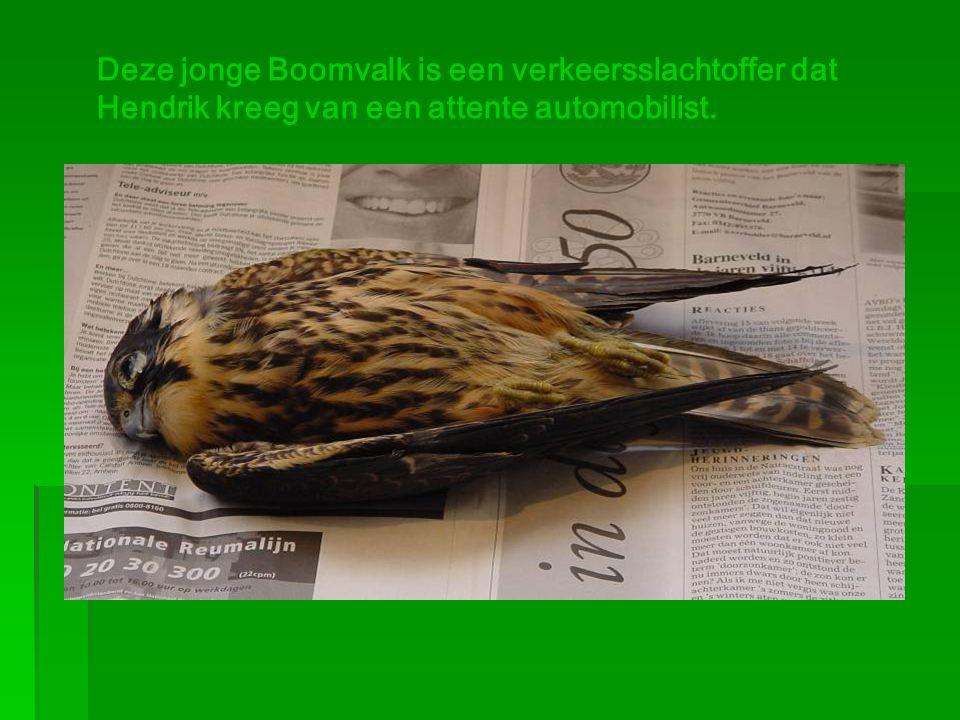Deze jonge Boomvalk is een verkeersslachtoffer dat Hendrik kreeg van een attente automobilist.